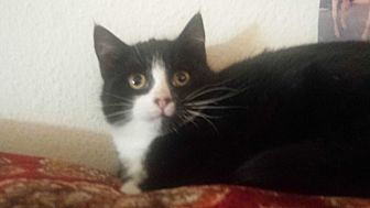 Domestic Shorthair Kitten for adoption in Sacramento, California - Tanner