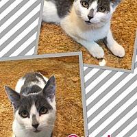 Adopt A Pet :: Pilgrim - Scottsdale, AZ