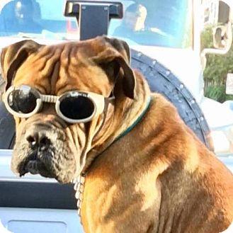 Bullmastiff Dog for adoption in North Port, Florida - Fred