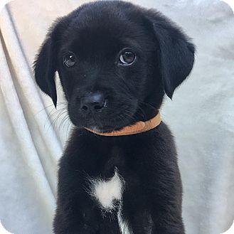 Labrador Retriever Mix Puppy for adoption in CUMMING, Georgia - Kenzo