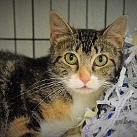 Adopt A Pet :: Avacado - Pottsville, PA