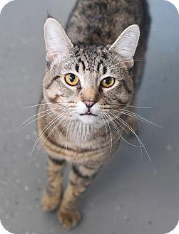 Domestic Shorthair Cat for adoption in Homewood, Alabama - Tweety