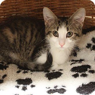 Domestic Shorthair Kitten for adoption in Naperville, Illinois - Mr. Brister