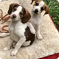 Adopt A Pet :: Ivy and Tulip - Allentown, PA
