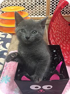 Domestic Shorthair Kitten for adoption in Burlington, North Carolina - GRETEL