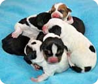Basset Hound Mix Dog for adoption in Charleston, South Carolina - Merrybelle's Puppies
