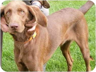 Vizsla/Setter (Unknown Type) Mix Puppy for adoption in Toledo, Ohio - SMITTY