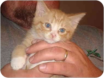 Domestic Shorthair Kitten for adoption in Newburgh, Indiana - Buzy Boy