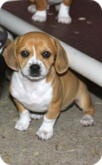Beagle Mix Puppy for adoption in Danbury, Connecticut - Moxy