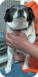 Beagle/Rat Terrier Mix Puppy for adoption in Chicago, Illinois - Skittles (ADOPTED!)