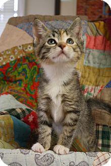 Domestic Shorthair Kitten for adoption in Marietta, Georgia - Daisy