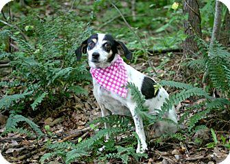 Rat Terrier Mix Dog for adoption in Cleveland, Georgia - Annie