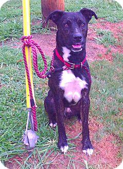 Labrador Retriever/Basenji Mix Dog for adoption in Metamora, Indiana - Charlie