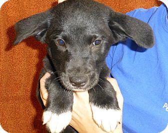Australian Shepherd/Labrador Retriever Mix Puppy for adoption in Oviedo, Florida - Brandy