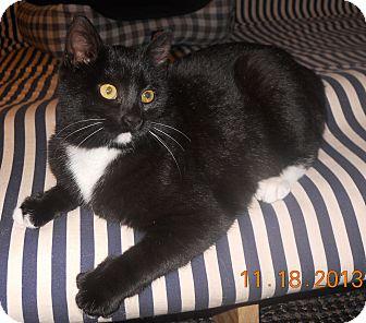 American Shorthair Kitten for adoption in Olmsted Falls, Ohio - Joy