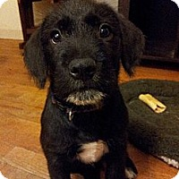 Adopt A Pet :: Remington - New Boston, NH