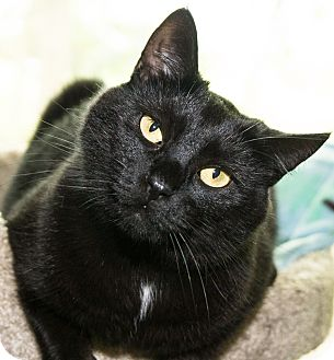 Domestic Shorthair Cat for adoption in Seville, Ohio - Binksy