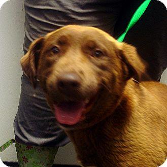 Labrador Retriever Mix Dog for adoption in Greencastle, North Carolina - Darcy