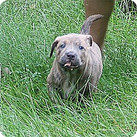 Adopt A Pet :: Mugsy - Holland, MI