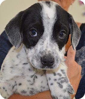 Redbone Coonhound Mix Puppy for adoption in Glenburn, Maine - Nevin-adoption in progress