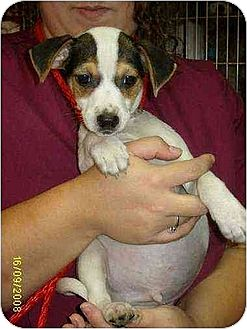 Chihuahua/Jack Russell Terrier Mix Puppy for adoption in Lincolndale, New York - Indy