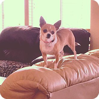 Chihuahua Mix Dog for adoption in Las Vegas, Nevada - Mona
