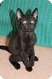 Domestic Shorthair Kitten for adoption in Nashville, Tennessee - Hickory