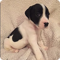 Adopt A Pet :: Christy - Lewisville, IN