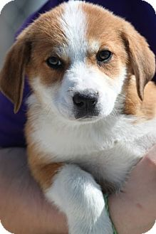 Shepherd (Unknown Type) Mix Puppy for adoption in Jewett City, Connecticut - Westerly - ADOPTED!