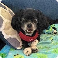 Adopt A Pet :: Pookie (in NC) - Vansant, VA