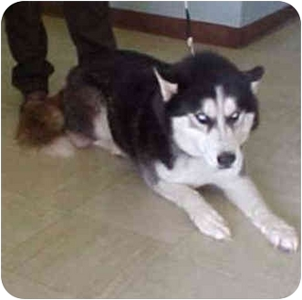 """Siberian Husky Dog for adoption in Various Locations, Indiana - """"Tyson is Urgent"""""""