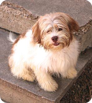 Shih Tzu Mix Dog for adoption in Woonsocket, Rhode Island - Phoenix