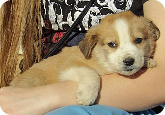 Australian Shepherd/Retriever (Unknown Type) Mix Puppy for adoption in Williamsport, Maryland - Lincoln (5 lb) Video!