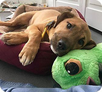 American Bulldog/Labrador Retriever Mix Puppy for adoption in Hayes, Virginia - Puma (aka Red)