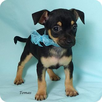 Chihuahua Mix Puppy for adoption in Kerrville, Texas - Tomas