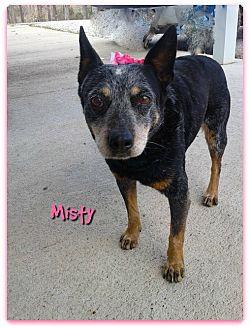 Blue Heeler Dog for adoption in Princeton, Kentucky - MISTY