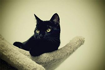 Domestic Shorthair Cat for adoption in Milwaukee, Wisconsin - Biscuit