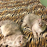Domestic Mediumhair Cat for adoption in San Diego, California - Dina