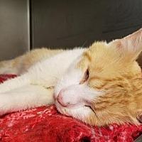 Adopt A Pet :: Bobby - Anderson, IN