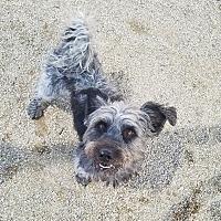 Adopt A Pet :: SCRAPPY - Phoenix, AZ