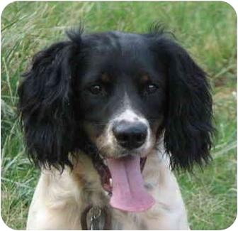 English Springer Spaniel Dog for adoption in EASLEY, South Carolina - BAXTER