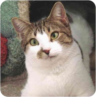 Domestic Shorthair Cat for adoption in San Clemente, California - ALLIE