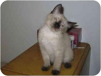 Siamese Kitten for adoption in Buford, Georgia - Christopher