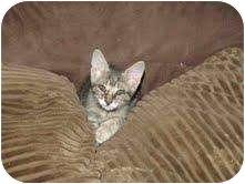 Domestic Shorthair Kitten for adoption in Carey, Ohio - Richie Rich
