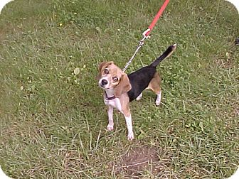 Beagle Dog for adoption in Beacon, New York - Fannie May