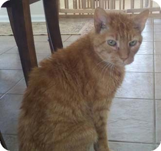 Domestic Shorthair Cat for adoption in Merrifield, Virginia - Mickey Biscuits