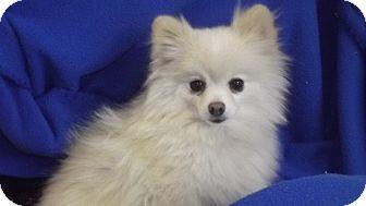 Pomeranian Mix Dog for adoption in Marshall, Texas - Marilyn