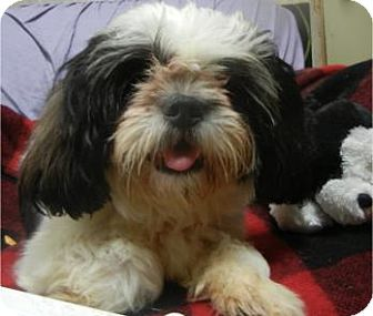 Shih Tzu Mix Dog for adoption in Antioch, Illinois - Milo ADOPTED!!