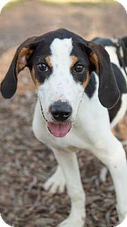 Treeing Walker Coonhound/Beagle Mix Puppy for adoption in Oak Creek, Wisconsin - Colt