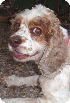 Cocker Spaniel Dog for adoption in Sugarland, Texas - Lainey
